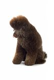 Black poodle Stock Image
