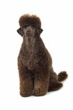 Black poodle royalty free stock image