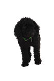 Black poodle. Stock Photo