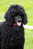 Black poodle Royalty Free Stock Photos