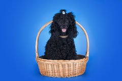 Black poodle in a basket on blue background Royalty Free Stock Photography
