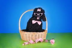 Black poodle in a basket on blue background Stock Images