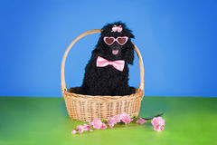 Black poodle in a basket on blue background Royalty Free Stock Photo