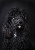 Black Poodle. Close up of black  poodle Royalty Free Stock Photography
