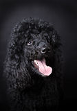 Black Poodle. Close up of black  poodle Stock Images
