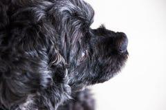 Black poodle dog is doing face skepticism. Black poodle dog is doing face skepticism stock images