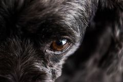 Black poodle dog is doing face skepticism. stock photography