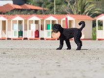 Black poodle dog playing frisbee  on the beach Stock Photography