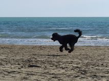 Black poodle dog running fast on the beach. Black poodle  dog runs on the beach so fast that it seems to fly Stock Photography