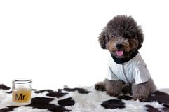 A black poodle dog wearing tuxedo with a glass of drink. royalty free stock photography