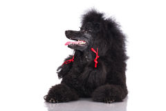 Black poodle dog Royalty Free Stock Photography