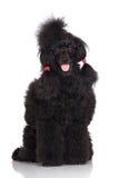 Black poodle dog Stock Photos