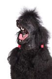 Black poodle dog Stock Photo