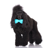 Black poodle dog Stock Photography