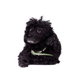 Black poodle dog on white Stock Images