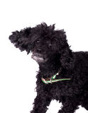 Black poodle dog on white Stock Photography