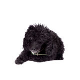 Black poodle dog on white Royalty Free Stock Image