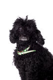 Black poodle dog on white Stock Photos