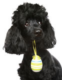 Black poodle with an Easter egg Royalty Free Stock Photo