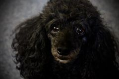 Black poodle face royalty free stock image