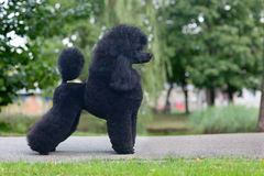 Black poodle female Royalty Free Stock Images