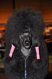 Black poodle funny royalty free stock photos
