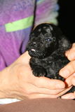 Black poodle held in the hands Stock Images