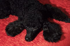 Black poodle lying on a burgundy background royalty free stock photography