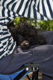 Black poodle lying on her lap Royalty Free Stock Image