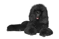 Black poodle lying on a white background Royalty Free Stock Photos