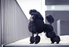 Black poodle male. Medium size black poodle male Royalty Free Stock Photos
