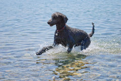 Black poodle playing in the sea Royalty Free Stock Image