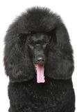 Black poodle portrait Royalty Free Stock Images
