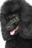 Black poodle portriat Royalty Free Stock Image