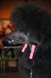 Black poodle profile stock image