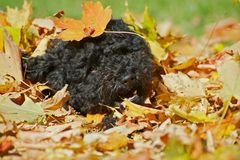 Black poodle pup playing in fall leaves. Stock Images