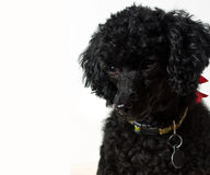 Black poodle puppy Royalty Free Stock Image