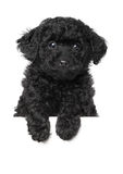 Black poodle puppy stock photo