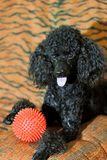 Black poodle with red ball Stock Images