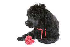 Black poodle with red carnation Stock Images