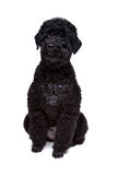 Black poodle stock photos