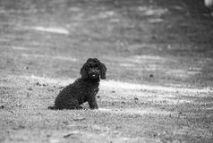 Black Poodle. Black small french poodle on a backyard Royalty Free Stock Photography