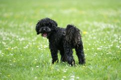 Black poodle staying on grass in a park. Medium-sized Black poodle staying on green grass in a park in sunny day royalty free stock image