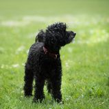Black poodle staying on grass in a park. Medium-sized Black poodle staying on green grass in a park in sunny day stock photography