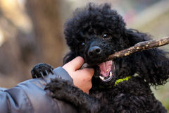 Black poodle with a stick in his mouth Royalty Free Stock Images