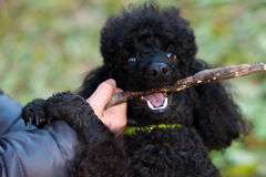 Black poodle with a stick in his mouth Stock Image