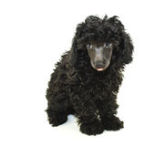 Black Poodle sticking out her tongue Stock Photos