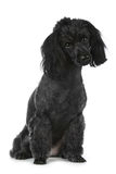 Black poodle on white background Royalty Free Stock Photos