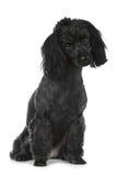 Black poodle on white background Royalty Free Stock Photos