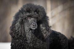black poodlen Royaltyfri Bild